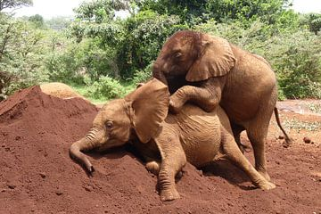spelende wees olifantjes van Daisy Janssens