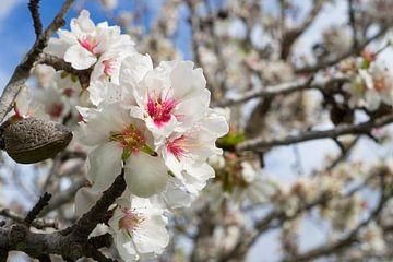 Mandelblüte 1 von Montepuro