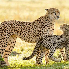 cheetah with cub sur jowan iven