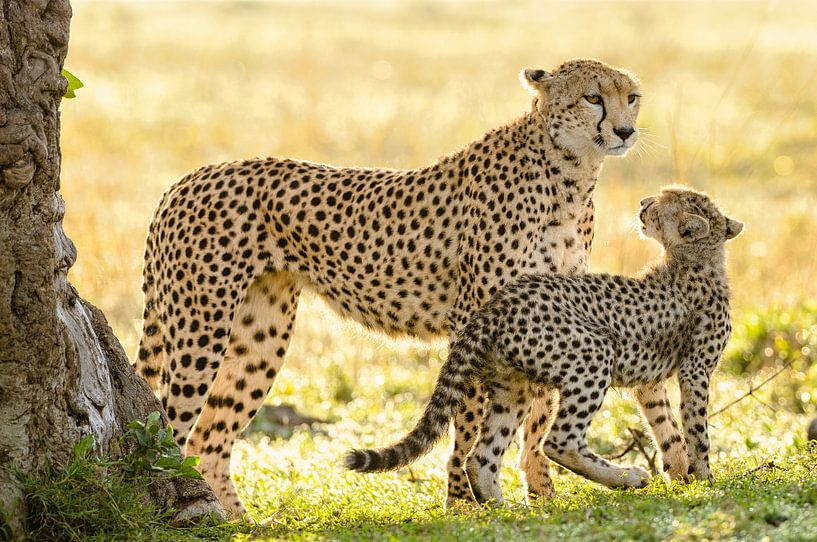 cheetah with cub van jowan iven