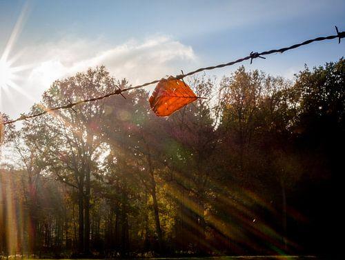 Een herfstblad aan het prikkeldraad, badend in zonlicht.