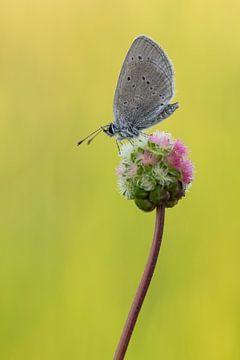 dwergblauwtje op kleine pimpernel van Francois Debets