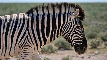 Steppe zebra in Etosha Nationaal Park van Timon Schneider