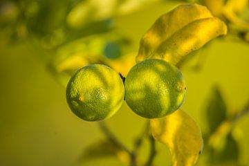 Zitronen auf einem Ast von Fred Leeflang