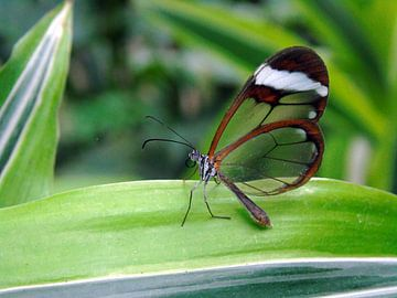 Greta Oto ( Glasvleugelvlinder ) Tropische vlinder - Collectie 2018 von Jan van Bruggen