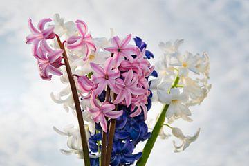 Frischer Strauß einer blauen, weißen und rosa Hyazinthe von J..M de Jong-Jansen