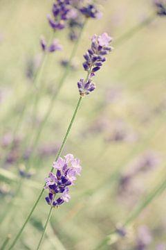 Lavendel van LHJB Photography
