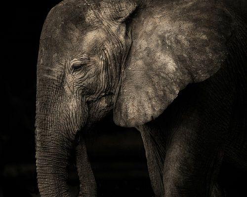 Olifant zonder slagtanden in zwart-wit van De Afrika Specialist