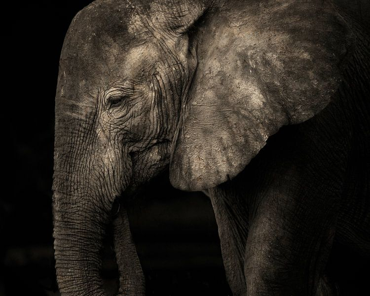 Olifant zonder slagtanden in zwart-wit sur De Afrika Specialist