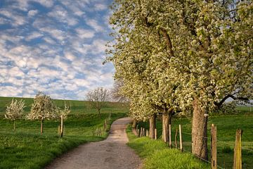 Fleur d'arbre fruitier au printemps, Bergisches Land, Allemagne sur Alexander Ludwig