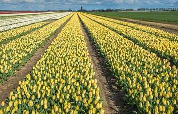 Bunte Blumenzwiebelfelder in den Niederlanden von Ruud Morijn