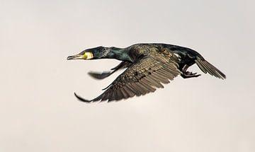 Aalscholver in volle vlucht sur Harrie Muis
