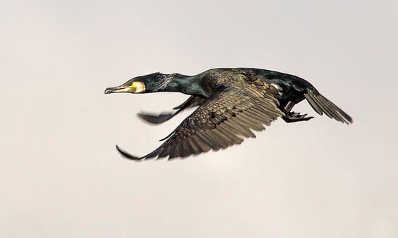 Aalscholver in volle vlucht van Harrie Muis