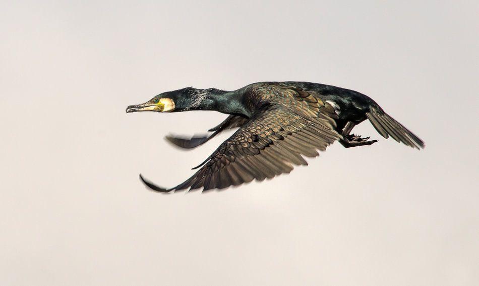 Aalscholver in volle vlucht