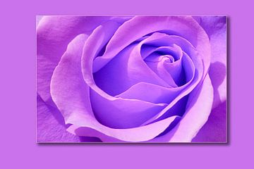 Rose Violett von Markus Wegner