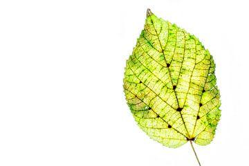 Buntes Herbstlaub auf weißem Hintergrund von Carola Schellekens