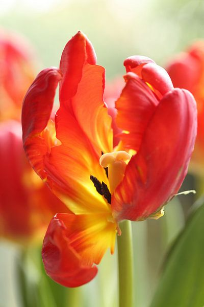 Rode tulp van LHJB Photography