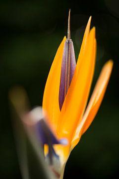 Oranje paarse bloem van