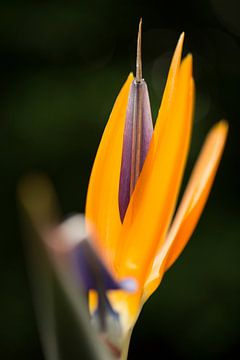 Oranje paarse bloem von Jelte Bosma
