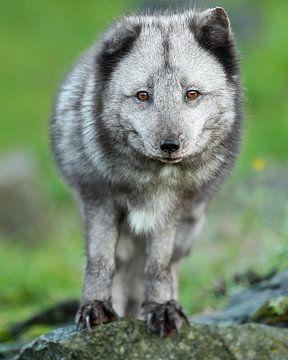 Le renard arctique a l'air en forme sur Patrick van Bakkum