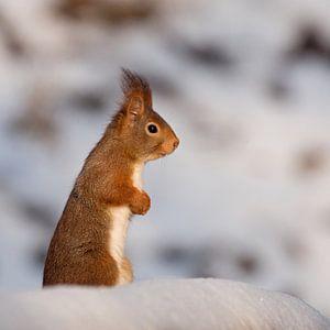 eekhoorn in de sneeuw van
