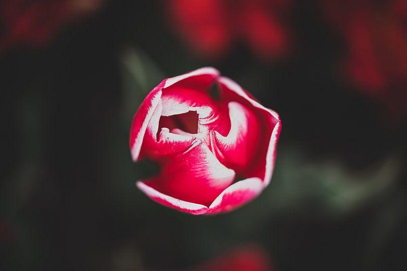 Rode bloeiende tulp van Fotografiecor .nl