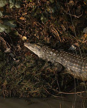 Early Morning Crocodile van Ian Schepers