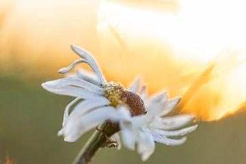 Gänseblümchen in der Morgensonne von Tania Perneel