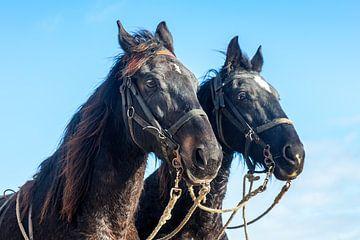 Pferde des Pferde-Rettungsbootes Abraham Fock Ameland von Evert Jan Luchies