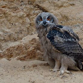 Eagle Owl ( Bubo bubo ), young chick, owlet standing in the wall of a sand pit, moulting plumage, di van wunderbare Erde
