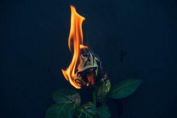 Brennende Rose von Simen Crombez