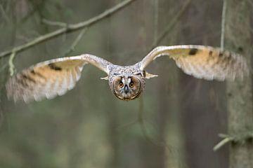 Owl in flight... Indian Eagle-Owl * Bubo bengalensis* van wunderbare Erde