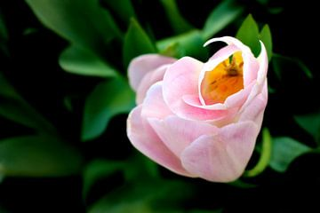Tulipe de printemps sur Marianna Pobedimova