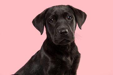 Porträt eines schwarzen Labrador-Retriever-Welpen vor einem rosa Hintergrund von Elles Rijsdijk