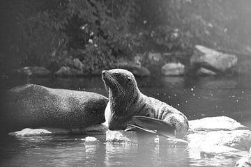 Zuid Amerikaanse Zeebeer geniet van het zonnetje van Maria-Maaike Dijkstra