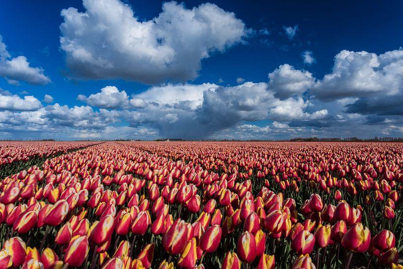 Tulips fiels under cloudy sky sur Louise Poortvliet
