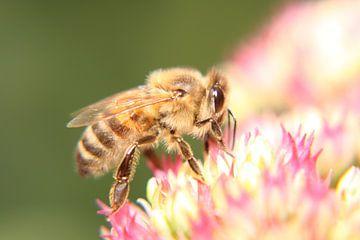 Honingbij van Wim Zoeteman
