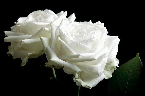 Twee witte rozen op een zwarte achtergrond van Arjen Schippers