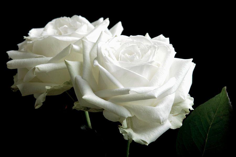 Twee witte rozen op een zwarte achtergrond
