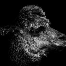 Alpaka in Schwarz und Weiß von Steven Dijkshoorn