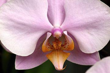 Nahaufnahme einer rosa Orchidee von W J Kok