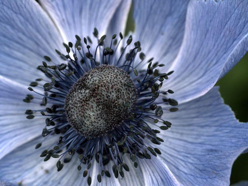 poppy anemone von Jo Beerens