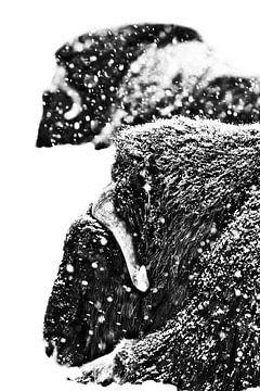 Krachtige gehoornde koppen van twee muskusossen van dichtbij. Zware muskusos (twee) in de sneeuw ond van Michael Semenov
