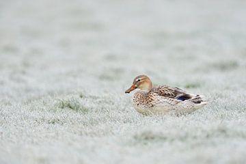 Pale Mallard / Wild Duck ( Anas platyrhynchos ) resting on hoar frost covered grassland, wildlife, E van wunderbare Erde
