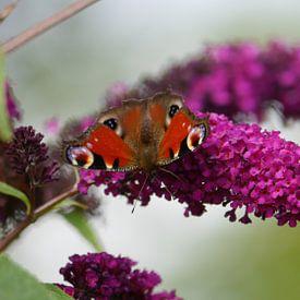 Am Schmetterlingsflieder van Peter Norden