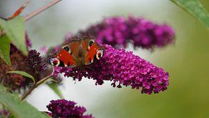 Am Schmetterlingsflieder von