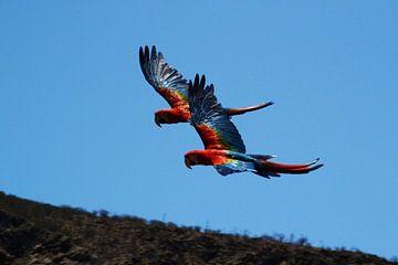 2 Papageien in Formation von Quint Wijnhoven