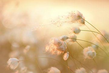 Moor Blüten des Wollgrases von Tanja Riedel