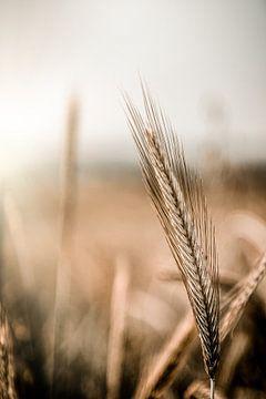 Getreide von ThograPictures