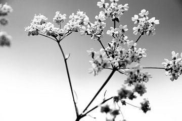 zevenblad zwart wit van